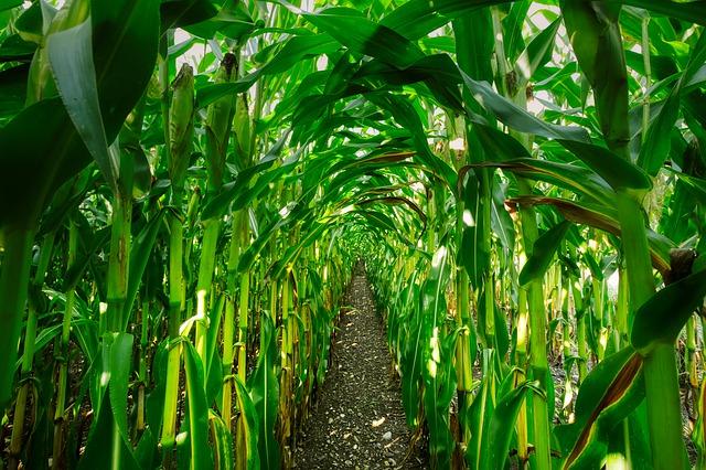 cestička medzi kukuricami.jpg
