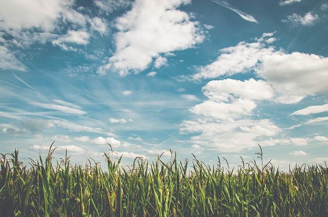 obloha nad kukuričným poľom.jpg